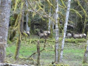 A herd of Roosevelt Elk just above Camp Pleasant